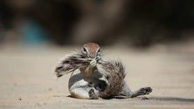 African ground squirrel stock footage