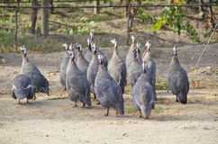 African Guinea Hens in the Vineyard Stock Images
