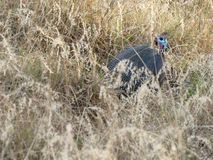 African Guineafowl. Crested African Guinea Fowl hiding in long grass Royalty Free Stock Image