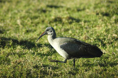 African Hadeda Ibis Stock Photography