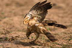 African Harrier Hawk. Catching crabs by digging in the riverbed Royalty Free Stock Photography
