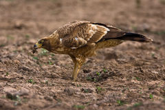 African Harrier Hawk. With a piece of crab in it's beak Royalty Free Stock Images
