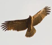 Free African Harrier Hawk In Flight Stock Photos - 18601723
