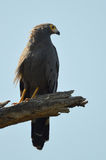 African harrier-hawk (Polyboroides typus) Stock Photo