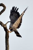 African harrier-hawk (Polyboroides typus) Stock Photography