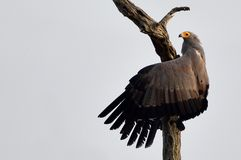 African harrier-hawk (Polyboroides typus) Royalty Free Stock Photo