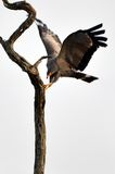 African harrier-hawk (Polyboroides typus) Stock Images