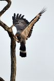 African harrier-hawk (Polyboroides typus) Royalty Free Stock Photos