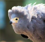 African harrier Hawke Stock Image