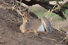 African hartebeest Stock Photo