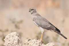 African Hawk Royalty Free Stock Photos