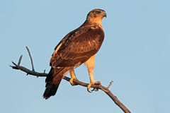 African hawk eagle Royalty Free Stock Image