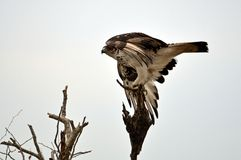 African Hawk Eagle (Aquila spilogaster) Stock Photography