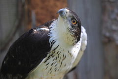 African hawk-eagle Royalty Free Stock Photography