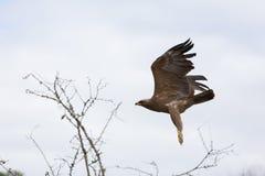 African hawk eagle Stock Photos