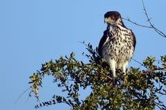 African Hawk Eagles (Aquila spilogaster). Stock Photography