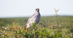 African Hawk. In middle Africa Royalty Free Stock Image