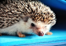 African hedgehog royalty free stock images