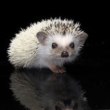 African Hedgehog in the dark photo studio. Hedgehog staying in the shiny black table Stock Photos