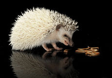 African Hedgehog eatig maggots in a black background. African Hedgehog eating in dark studio Royalty Free Stock Photo