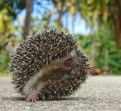African Hedgehog Royalty Free Stock Image