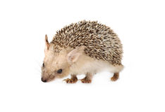 African hedgehog isolated on a white background Royalty Free Stock Photography