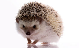 African hedgehog isolated on white Stock Photo