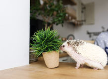 The African hedgehog and pot with a green flower. Royalty Free Stock Images