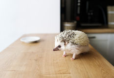 African hedgehog and white saucer. Stock Photos