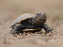 African helmeted turtle. (Pelomedusa subrufa) in Zambia Stock Photography