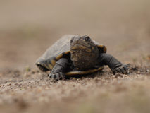 African helmeted turtle. (Pelomedusa subrufa) in Zambia Stock Images