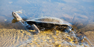 African Helmeted Turtle in water stream Stock Image