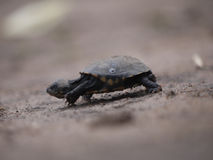 African helmeted turtle. Young African helmeted turtle (Pelomedusa subrufa) in Zambia Stock Photography