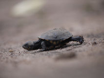 African helmeted turtle. Young African helmeted turtle (Pelomedusa subrufa) in Zambia Stock Photos