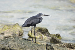 An African Heron Stock Photos