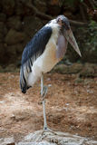 African heron. The African gray heron standing on a stone on one foot stock photos