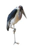 African heron. The African gray heron standing on a stone on one foot royalty free stock photo