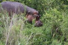 African Hippo Stock Images