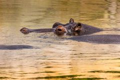 African hippo in their natural habitat. Kenya. Africa. Stock Photography