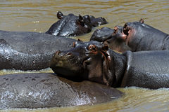 African hippo Royalty Free Stock Photo
