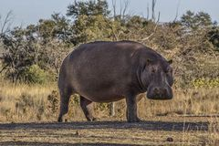 African hippo Royalty Free Stock Images