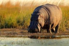 African Hippopotamus, Hippopotamus amphibius capensis, with evening sun, Chobe River, Botswana Stock Photos