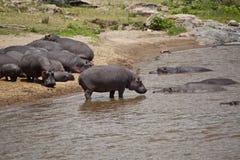 African hippopotamus  in Kenya Royalty Free Stock Photos