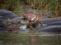 African hippos graze on the open spaces Stock Images
