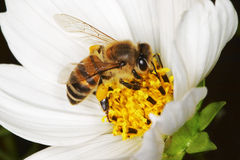 African honey bee on a white flower royalty free stock image