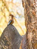 The African Hoopoe royalty free stock photo