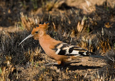 African Hoopoe Royalty Free Stock Images
