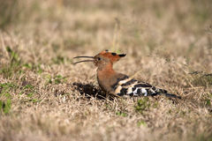 African Hoopoe. A close-up of a African Hoopoe, Mountain Zebra National Park Stock Photo