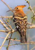 African hoopoe. In the early light near Lower Sabie, South Africa Stock Photos