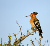 African Hoopoe. Or called Bird of Eden (Upupa africana) -  Addo National Park - South Africa Stock Images